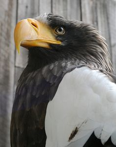 Stellar's Sea Eagle, amazing shot!