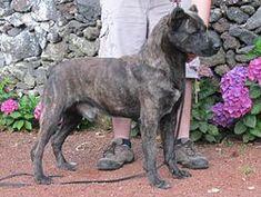 Cão Fila de São Miguel - the Azores cattle dog