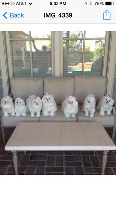 It's a bevy of beautiful Maltese ♡♡♡♡♡♡♡♡ Baby Maltese, Maltese Mix, Teacup Maltese, Dog Love, Puppy Love, Cute Puppies, Dogs And Puppies, White Dogs, Dogs Of The World