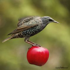 Photo The big apple by Andre Villeneuve on 500px - a bird carrying a red apple!