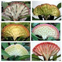 Euphorbia_Lactea