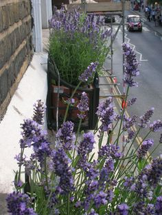 Lavender window boxes