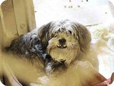 Lhasa Apso Mix Dog for adoption in Mesa, Arizona - A3546497 Maricopa County Animal Care & Control East Valley,Mesa AZ