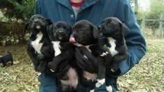 Please email us directly at ourbestfriendsrescue@gmail,com. The link from petfinder does not allow for responses. 3 males - 2 females available! Beautiful babies! Lab Pointer mixes. 12 weeks and ready for their new home! These puppies we saved from...