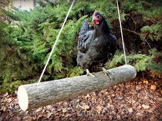 Swinging Chickens: Make an Easy DIY Log Swing for your Run