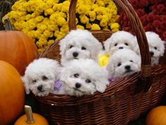 Basket of Autumn bichon Puppies