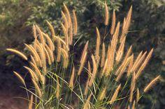 Beautiful Golden Grass