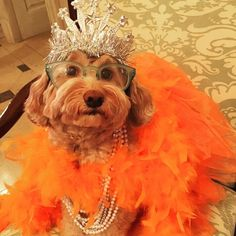 In honor of Kate Middleton's Birthday and National Apricot Day I put on my best apricot colored dress and my princess tiara. On my way to tea. #happybirthdaykatemiddleton #nationalapricotday #princesskate #reaganlovestodressup #teatime #dogs #minilabradoodles #dogsinglasses by reaganrothedoodle