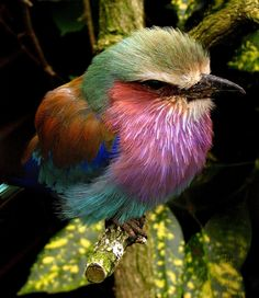 Breathtaking Bird: Lilac-Breasted Roller, photo by Shacky (keithlancaster.com)