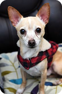 Adopted, yay!!!     Chihuahua Mix. Meet Little Joe, a dog for adoption. http://www.adoptapet.com/pet/17025033-chattanooga-tennessee-chihuahua-mix