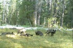 Matilha de lobos cinzentos é avistada na Califórnia após 90 anos