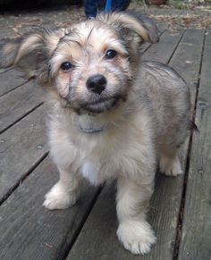Porter the Mixed Breed -- Puppy Breed: Havanese / Terrier