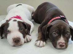 Beatrice and Bianca are 2 pit mixes that are looking for a good home!!