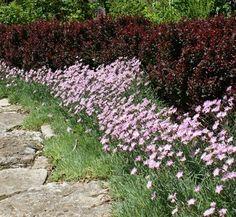 Berberis thunbergii var. atropurpurea 'Crimson Pygmy' 6 landscape