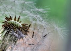 Photo by Doug Weller Love is wind for the soul. ― D. Antoinette Foy  BeautifulNow is Beautiful Now | A Mighty Gently Changing Beautiful Wind  #BeautifulNow #Quotes #photography #dandelions