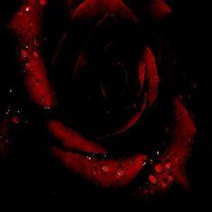 Imagenes De Rosas Rojas Hermosas