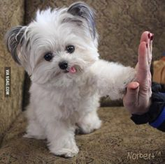 High-Five from Norbert, 3lb registered therapy dog