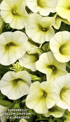Proven Winners - Superbells® Yellow Chiffon™ - Calibrachoa hybrid yellow blush yellow plant details, information and resources. Plants For Planters, Container Plants, Yellow Plants, Yellow Flowers, Flower Beds, My Flower, Proven Winners, How To Attract Hummingbirds, Unusual Plants