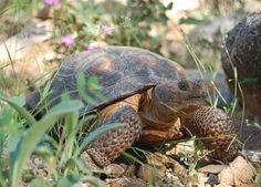 Desert Tortoise General Care