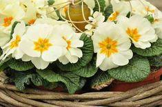 Primula vulgaris | Willaert Boomkwekerij Popup, Plants, Celebration, Plant, Planting, Planets