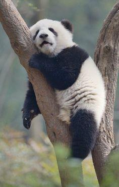 "Cute Lazy Sleeping Panda x Post with 0 votes and 195 views. Cute Lazy Sleeping Panda x ""pinner"": {""username"": ""first_name"": ""Katia"", ""domain_url"": null, ""is_default_image"": false, ""image_medium_url"":. Sleeping Panda, Sleeping Animals, Panda Bebe, Cute Panda, Panda Funny, Funny Panda Pictures, Animal Pictures, Angry Pictures, Cutest Animals"