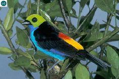 https://www.facebook.com/pages/THI%C3%8AN-NHI%C3%8AN-K%E1%BB%B2-TH%C3%9A/171150349611448?ref=hl Chim Tanager thiên đường Nam Mỹ | Paradise tanager (Tangara chilensis)(Thraupidae)(Tangara) IUCN Red List of Threatened Species 3.1 : Least Concern (LC) | (Loài ít quan tâm)