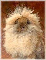The lionhead rabbit........enough said.
