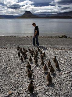 Eider Ducks, Iceland | Flickr - Photo Sharing!