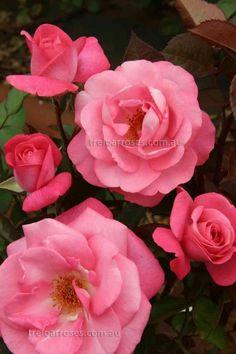 Sweet Memory Hybrid Tea Rose Alzheimer S Australiaflowering Plantsplanting Flowerslove