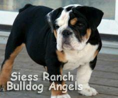 Tri colored bulldog! Too cute!