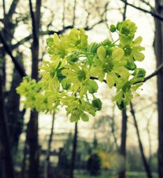 green flowers of spring