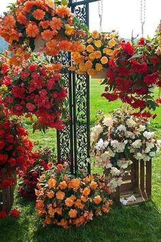 Begonia, Amazing Nature, Amazing Gardens, Planting Flowers, Potted Flowers, Flower Pots, Flower Arrangements, Beautiful Flowers, Floral Wreath