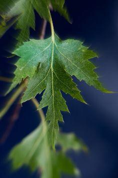 Taalainkoivu (Betula pendula f. dalecarlica) rauduskoivun liuskalehtinen muoto.