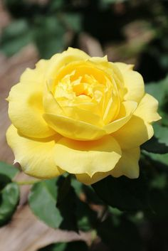 Yellow Rose of Texas!
