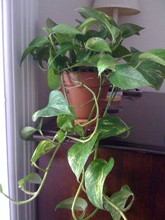 The pothos plant is considered by many to be a great way to get started caring for houseplants. This lovely plant is an easy way to add some green in your home. Read more about them here.