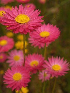 Pink Everlastings.jpg