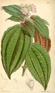 Bertolonia guttata. Curtis's botanical magazine. v.91 [ser.3:v.21] (1865). London ;New York [etc.] :Academic Press [etc.] Biodiversitylibrary. Biodivlibrary. BHL. Biodiversity Heritage Library