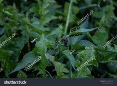 Leaves Grass Bugs témájú stockfotó (szerkesztés most) 1497388193 Bugs, Grass, Plant Leaves, Plants, Photography, Image, Photograph, Beetles, Grasses