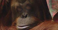 Liberen a Sandra la orangutana del zoo de Buenos Aires FIRMA Y COMPARTE ESTA PETICIÓN AHORA!