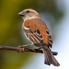 Cape Sparrow (Passer melanurus) female