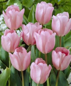 The Tulip Single Late Pastel Mixture - Single Late Tulips - Tulips - Flower Bulb Index