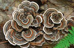 10 Beautiful Photos of Wild Edible Mushrooms Edible Wild Mushrooms, Growing Mushrooms, Stuffed Mushrooms, Mushroom Plant, Mushroom Pictures, Turkey Tail Mushroom, Slime Mould, Wild Edibles, Patterns In Nature