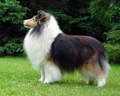 Sable and white Blue Merle Sheltie, Sheep Dogs, Dark Mahogany, Shetland Sheepdog, Collie Dog, Border Collies, Cute Little Animals, Animal Pics, Animals Beautiful