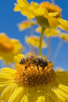 #Photography of #spring #bee gathering #pollen