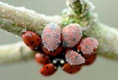 <3Ladybugs all huddled together ~ cold