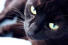 Katze, Häuslich, Schwarz, Tier, Haustier