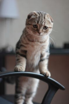 When you go away... ...gorgeous scottish folds