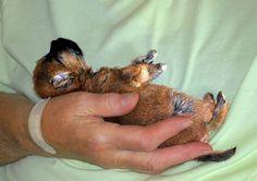 Handful - Cairn puppy
