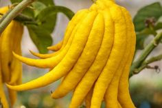 Freaky fruit: Buddha's Hand is a citrus fruit with lemon-yellow fingers that can weigh up to a kilo.