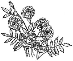 To draw a marigold, examine the marigold illustration before proceeding to step 1.